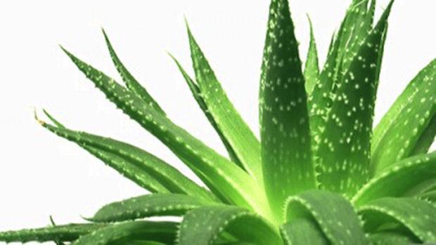 La natura  in soccorso dei capelli. Aloe Vera e Serenoa Repens possono essere molto utili per contrastare la caduta dei capelli