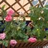 Cosmesi naturale: le proprietà delle rose